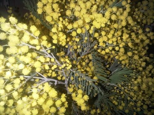 mimosa-jpg