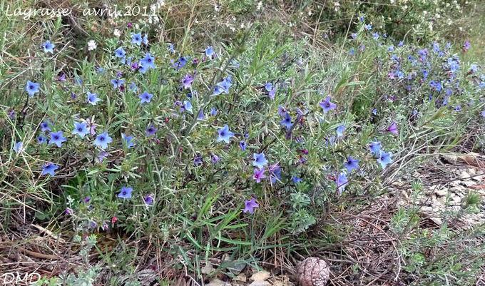 Lithodora fruticosa - grémil ligneux