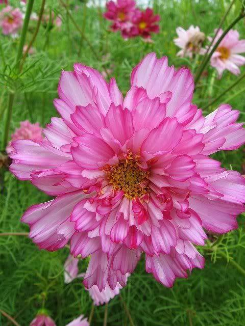 Cartes  Postales  fleurs  8