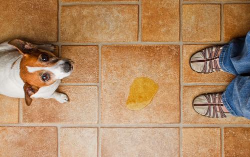 La propreté du chiot et du chien adulte