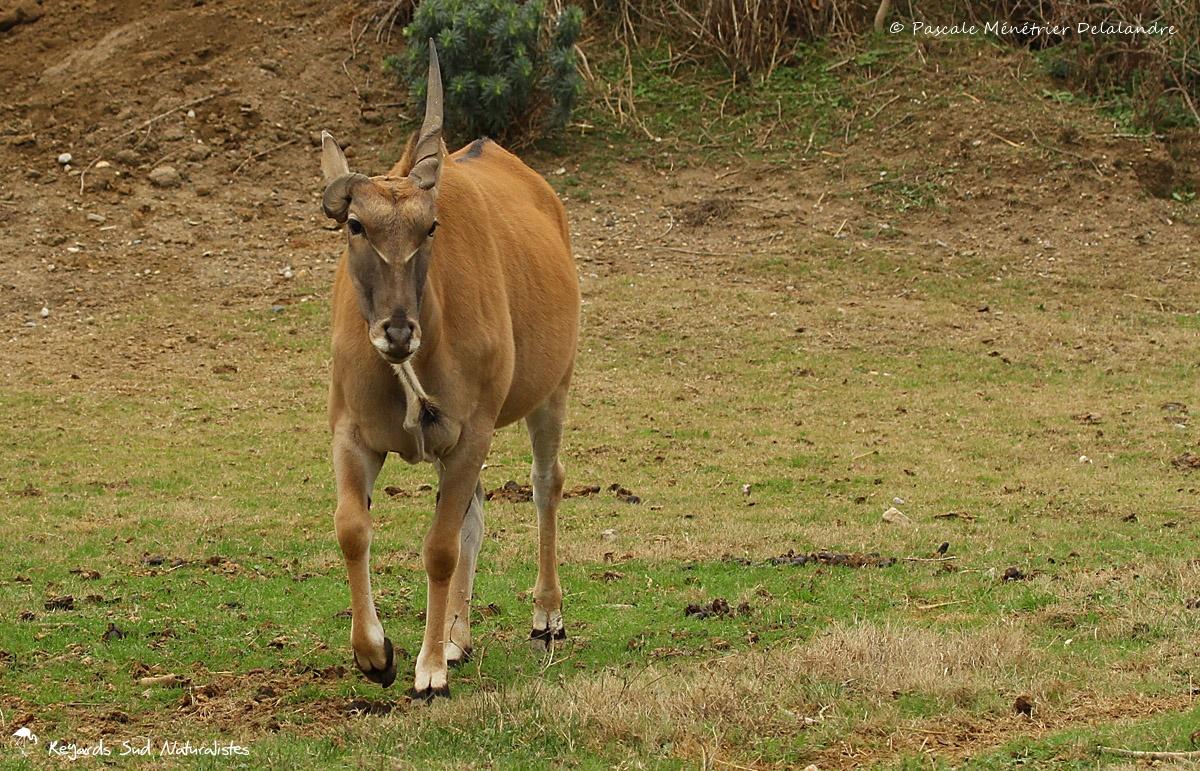 Éland du Cap - Taurotragus oryx
