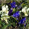 fleur iris des garrigues.jpg