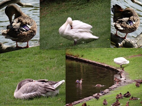 Montage de canards, oie, et cygnes