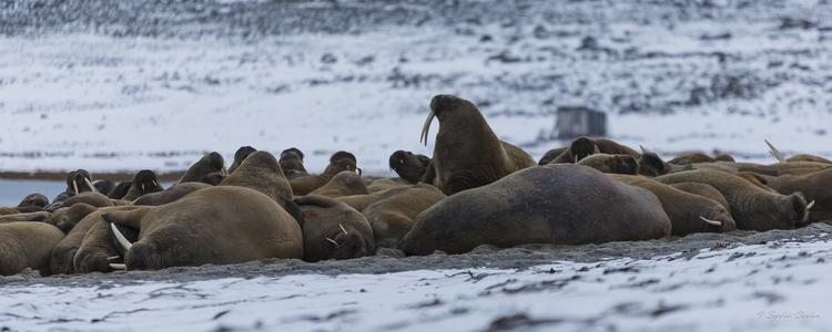 Les morses de Phippsøya