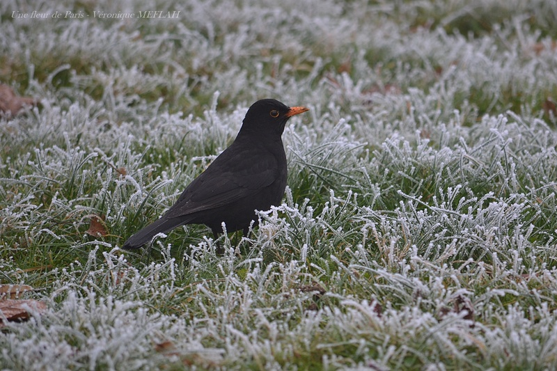 Rambouillet : Merle noir en hiver