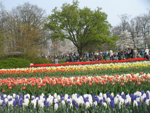 les Champs de Tulipes et Jacinthes  en Hollande .2011