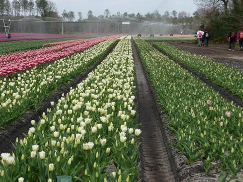 toujours les tulipes