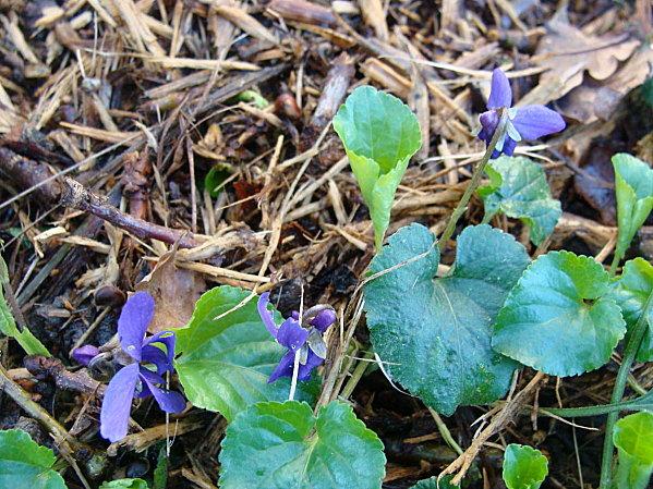 Violettes DSC02356