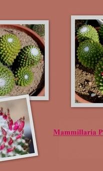 Mammillaria Polythele var.Nudum