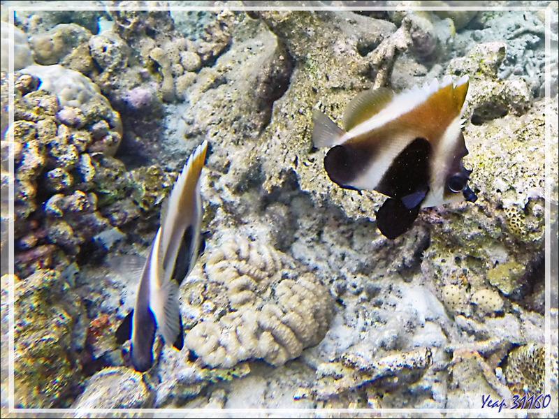 Snorkeling : Poisson cocher fantôme, Hénioche singulier, Phantom bannerfish, Indian ocean bannerfish (Heniochus pleurotaenia) - Moofushi - Atoll d'Ari - Maldives
