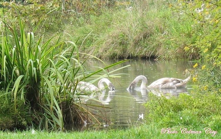 Colmar : Quartier des maraîchers (cygnes)