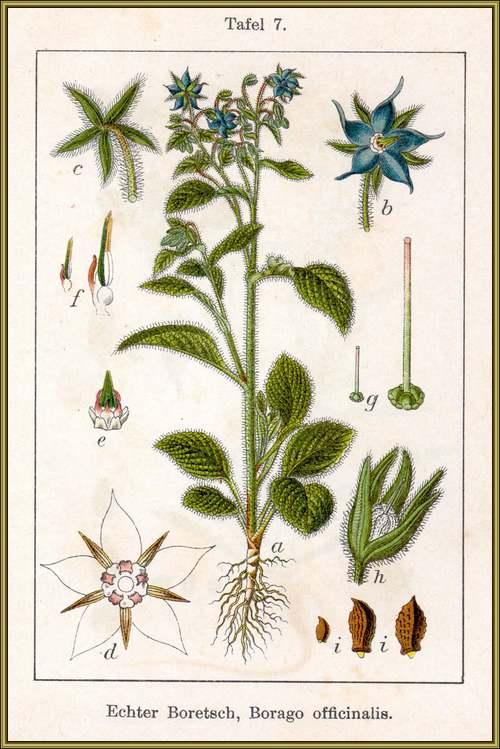 Vertus médicinales des plantes sauvages : Bourrache