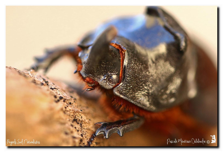 Oryctes nasicornis ♂ (Rhinocéros major)