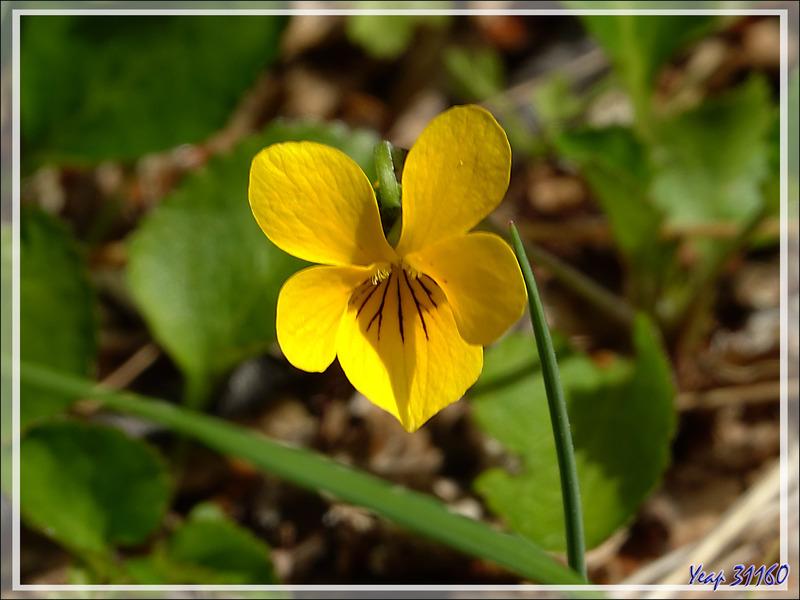 Violeta amarilla, Violette jaune (Viola maculata) - Lago Grey - Parque Torres del Paine - Patagonie - Chili