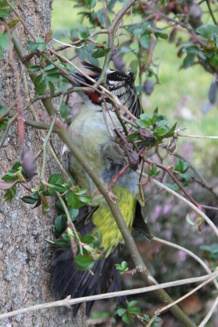 Sauvetage d'un pivert (Picus viridis)