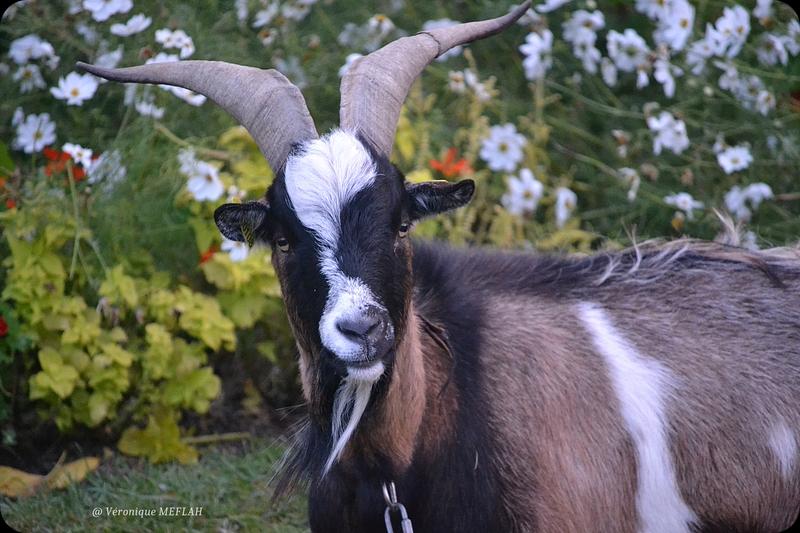Des chèvres parisiennes au Jardin des Tuileries