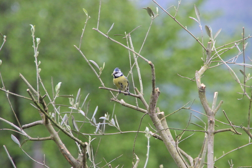 Les mésanges font leur nid