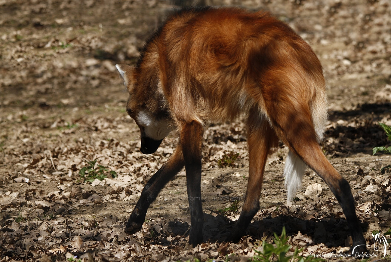 Loup à crinière (Chrysocyon brachyurus)