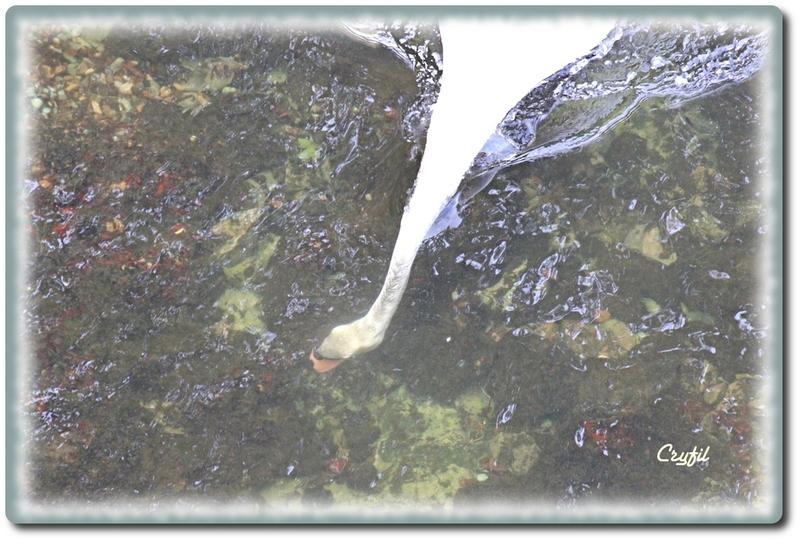 Cygnes de Dordogne