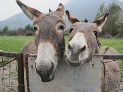 Mes deux ânes.