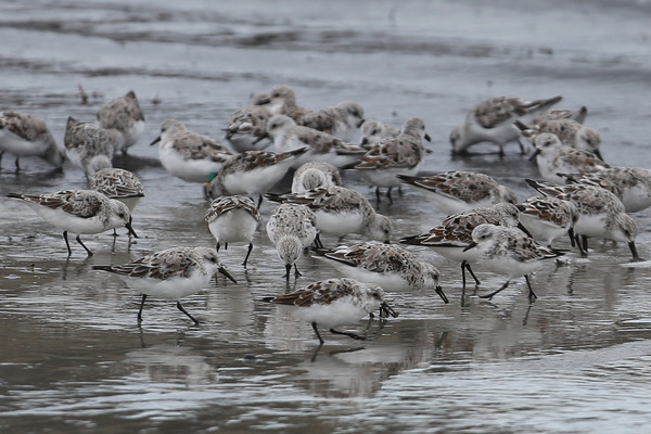Becasseau sanderling - Saint Jacques
