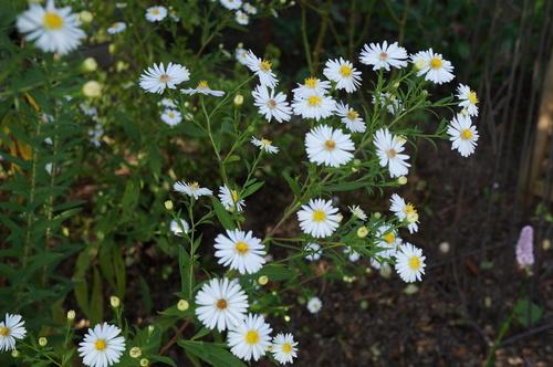 En septembre, des étoiles dans le jardin