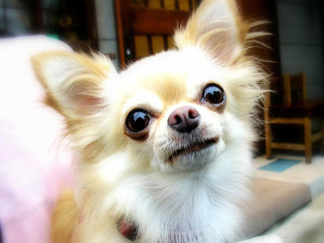 Races de chats:  Chihuahua