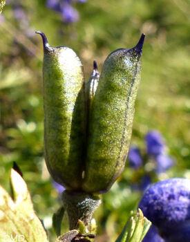 Aconitum napellus  - aconit napel