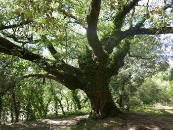 Le chêne près de l'aire de la Jale