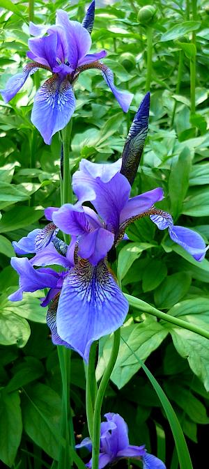 Tube fleur, tube iris