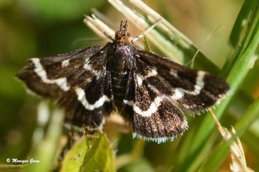 Papillon à identifier