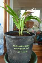 Archontophoenix cunninghamiana (ou palmier royal)