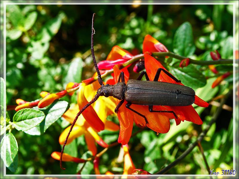 Longicorne Aegosome scabricorne (Aegosoma [Megopis] scabricornis) mâle - Lartigau - Milhas - 31 -