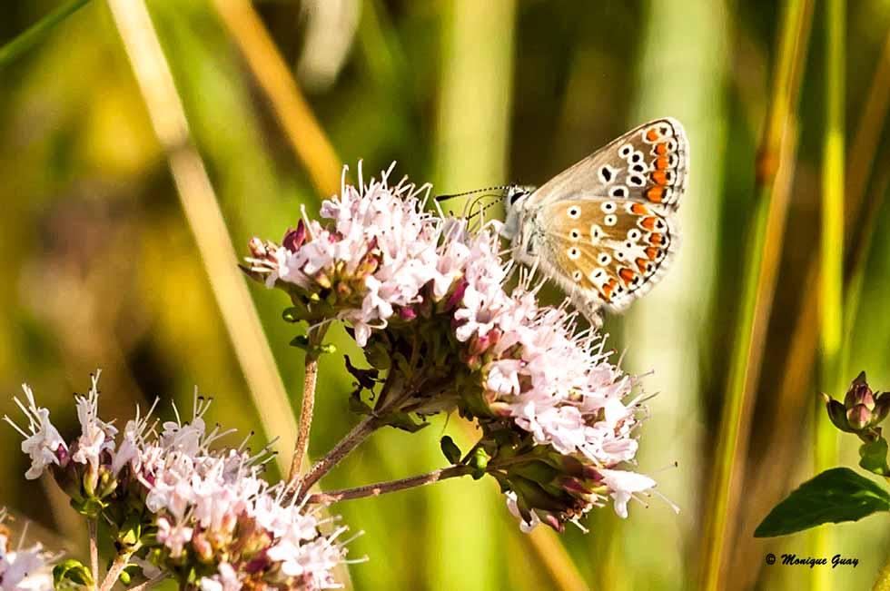 Papillon Azuré commun femelle