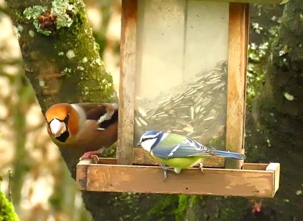 De beaux oiseaux colorés ont visité mon jardin cet hiver....
