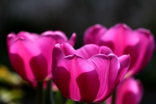 Tulipes Baby Blue10