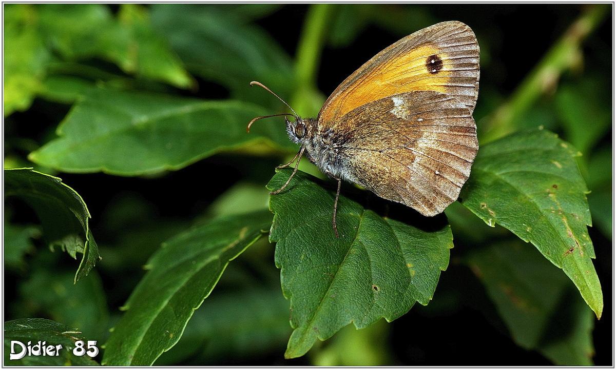 Amaryllis (2) - Pyronia tithonus