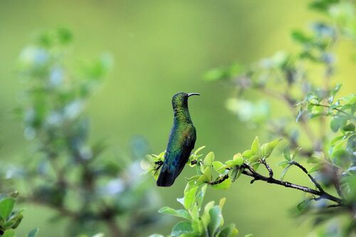 Colibri Falle-vert (Green-throated Carib)