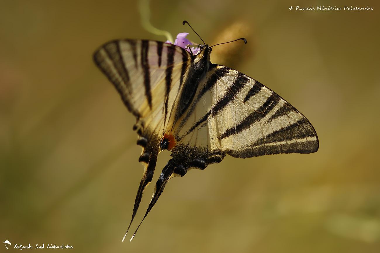 Flambé (Iphiclides podalirius) - Papilionidae