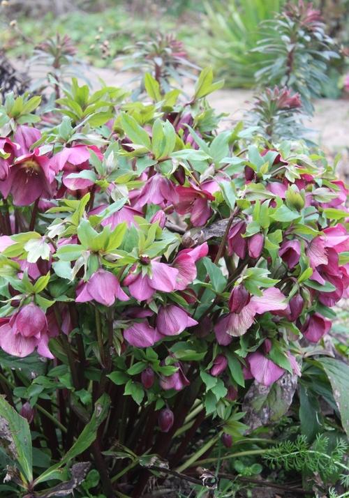 fleurs de saison : les hellébores