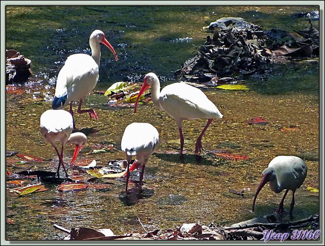 Blog de images-du-pays-des-ours : Images du Pays des Ours (et d'ailleurs ...), Ibis blanc (Eudocimus albus) - National Park Carara - Costa Rica