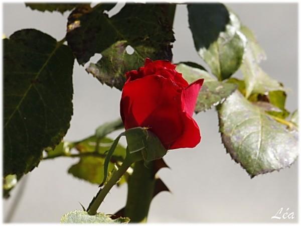 _MG_5227-rose.jpg