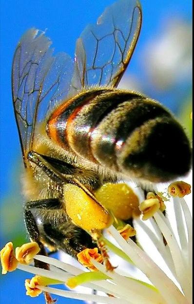 Fleurs mellifères à planter pour sauver les abeilles