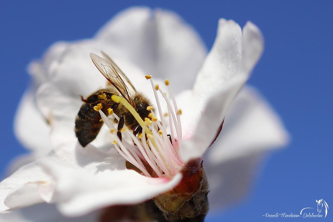 Abeille mellifère ♀ - Apis mellifera