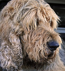 work.3859594.3.flat,550x550,075,f.an-otterhound