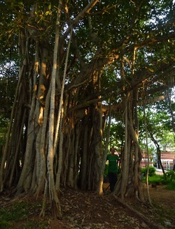 Banian Tree (arbre sacré en Inde)