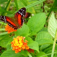 Anartia Amathea - Guyane