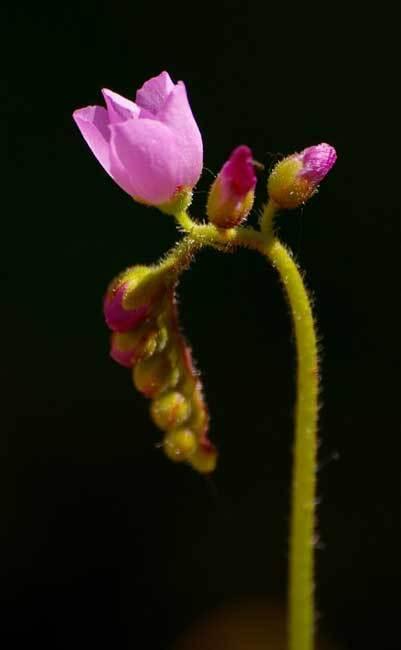 Plante carnivore. Rossolis du Cap