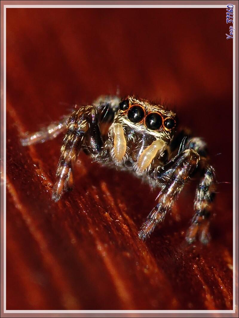 Un monstre de 4 mm : l'araignée sauteuse (saltique) Pseudeuophtys lanigera (femelle) - Lartigau - Milhas - 31
