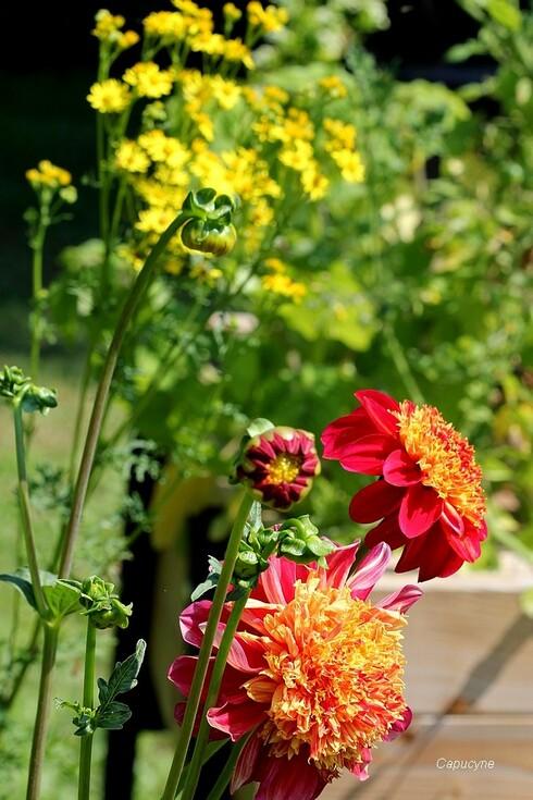 Jaunes sauvages au jardin : l'Onagre et le Séneçon Jacobée
